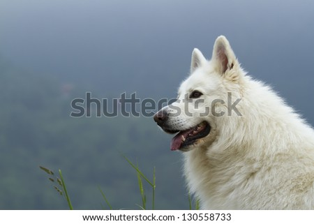 Portrait of dog white shepherd, in mountain side