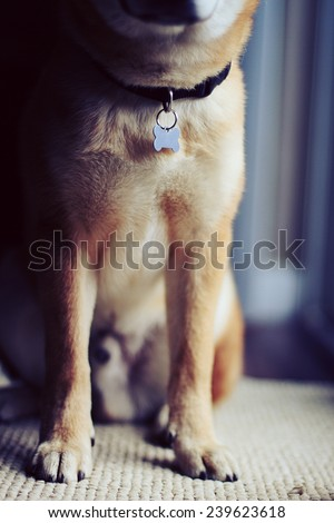 Portrait of Dog with dog tag - stock photo