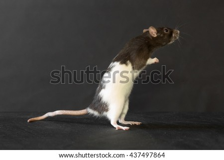 portrait of domestic rat on a black background - stock photo