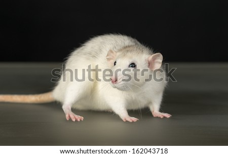 portrait of domestic rat on a glass table