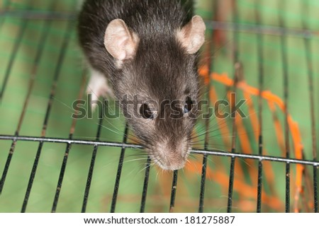 portrait of domestic rat very close up