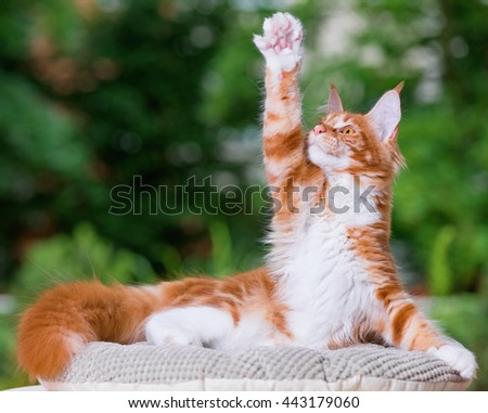 Portrait of domestic red Maine Coon kitten, 5 months old. Cat posing on green outdoor background. - stock photo