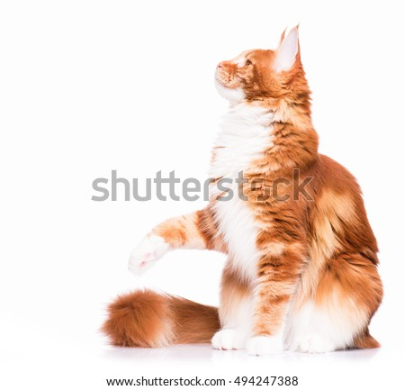 Portrait of domestic red  Maine Coon kitten - 8 months old. Cute young cat sitting and swinging its paw. Playful adorable orange striped kitty isolated on white background.