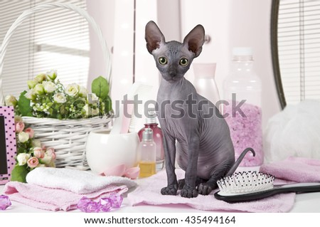 Portrait of Don Sphinx kitty cat (two months old) with some toiletries indoors - stock photo