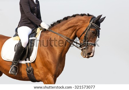 Portrait of dressage horse during competition on blue background.