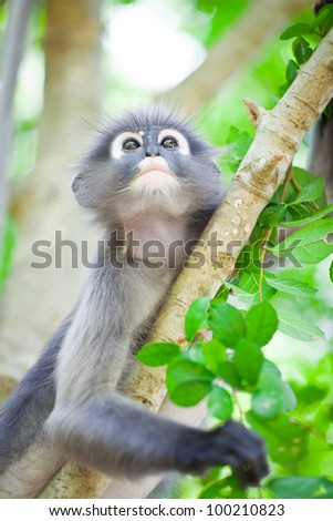 portrait of dusky leaf monkey in tropical tree