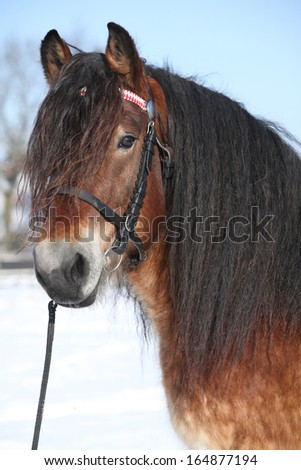 Portrait of dutch draught horse stallion with bridle standing on snow in sunny winter - stock photo