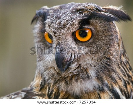 Portrait of Eagle Owl