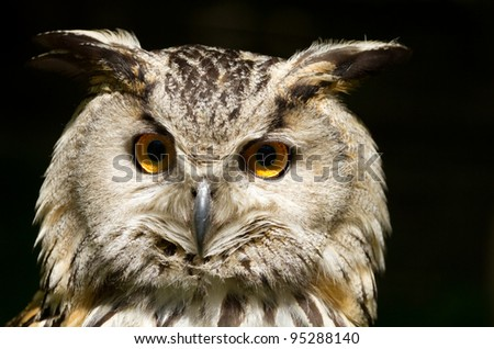 Portrait of eagle-owl (bubo bubo)