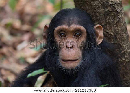 Portrait of Eastern chimpanzee infant in natural habitat - stock photo