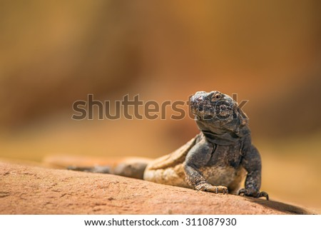 Portrait of eastern collared lizard (Crotaphytus collaris), also called common collared lizard or Oklahoma collared lizard