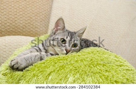 Portrait of elegant grey cat, domestic cat in blur brown dirty background, cat portrait, animals, domestic cat,cat with green eyes close up in focal focus, grey cat resting in bed, selective focus - stock photo