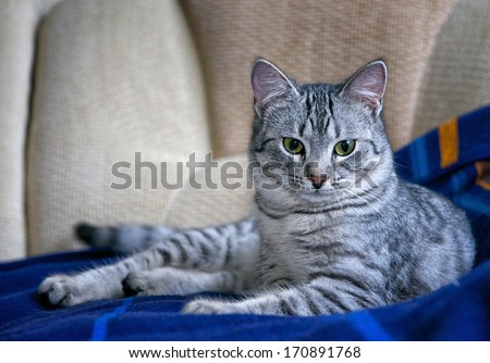 Portrait of elegant grey cat, young cat in blur background, cat portrait close up, animals, domestic cat, cat with green eyes, grey cat - stock photo