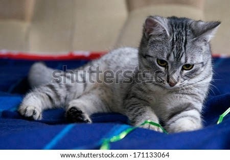 Portrait of elegant grey cat, young cat in blur background, cat portrait close up, animals, domestic cat, cat with green eyes, grey cat, cat at home, cat on siesta time - stock photo