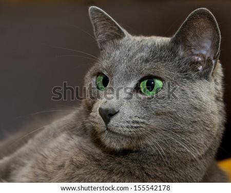Portrait of elegant Russian Blue Cat, Russian Blue cat in blur brown dark dirty background, cat portrait close up, animals, domestic cat, Russian Blue, cat with green eyes, grey cat, elegant cat - stock photo