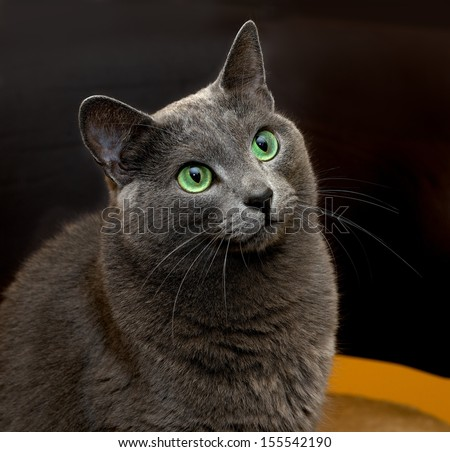 Portrait of elegant Russian Blue Cat, Russian Blue cat in blur brown dirty background, cat portrait, animals, domestic cat, Russian Blue, cat with green eyes, grey cat, elegancy - stock photo