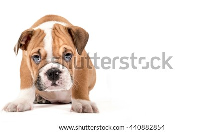 Portrait of English Bulldog puppy isolated on white background with empty space - stock photo