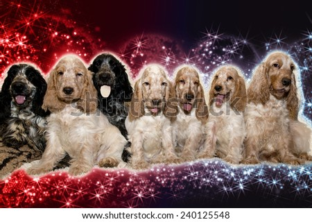 portrait of english cocker spaniel, champion, breeding station on abstract christmas background - stock photo