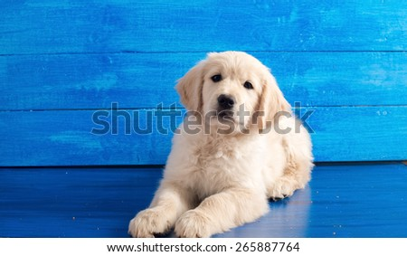 Portrait of English Golden Retriever puppy on blue wood - stock photo