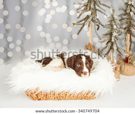 Portrait of English Springer Spaniel puppy sitting on fur by Christmas decorations at home - stock photo