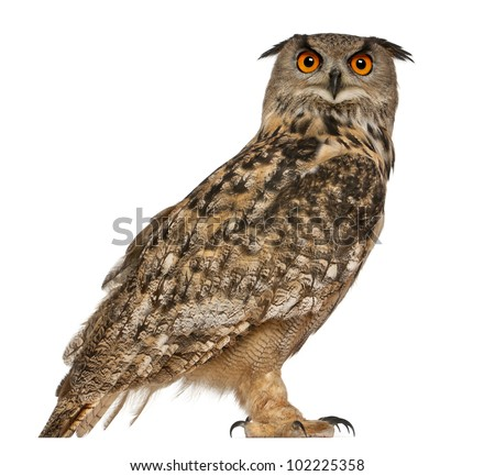 Portrait of Eurasian Eagle-Owl, Bubo bubo, a species of eagle owl, standing in front of white background - stock photo