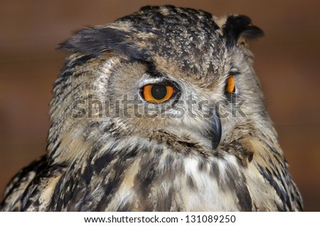 Portrait of Eurasian Eagle-Owl (Bubo bubo) on brown background