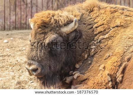 Portrait of European bison in Belorussian zoo - stock photo