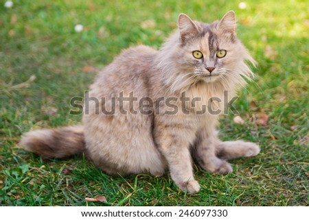 Portrait of european cat with long hair - stock photo