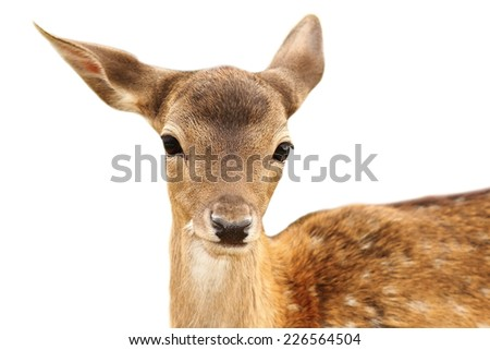 portrait of fallow deer calf ( Dama ) isolated over white background - stock photo