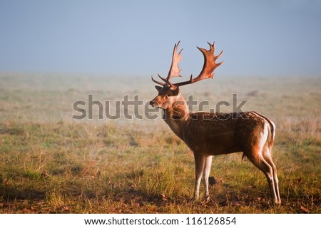 Portrait of fallow deer stag on foggy Autumn morning - stock photo