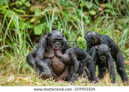 Portrait of family of a Chimpanzee bonobo ( Pan paniscus). Democratic Republic of Congo. Africa - stock photo
