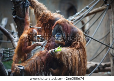 Portrait of father and kid orangutans in the Leipzig Zoo - stock photo