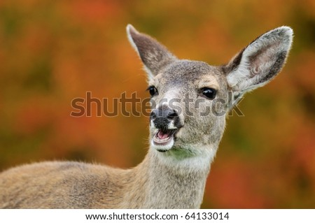 Portrait of fawn with maple tree  background