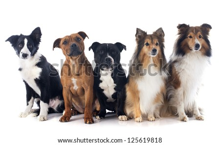 portrait of five purebred dogs in front of white background - stock photo