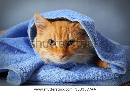 Portrait of fluffy red cat in blue towel, close up - stock photo