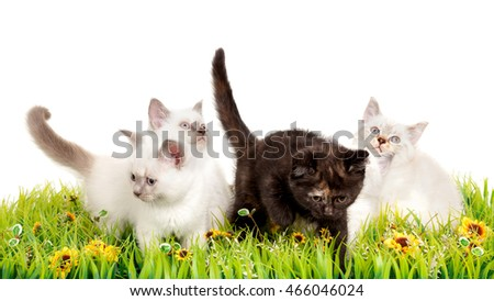 Portrait of four British Shorthair Kittens sitting, 8 weeks old,