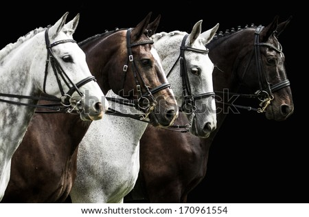 Portrait of  four horses in dressage competition isolated on black - stock photo