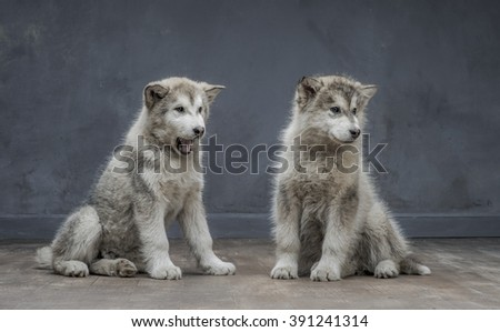 Portrait of four-month old alaskan malamute puppys closeup in studio