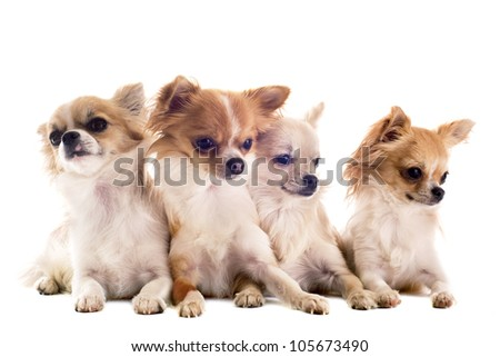 portrait of four purebred  chihuahuas in front of white background