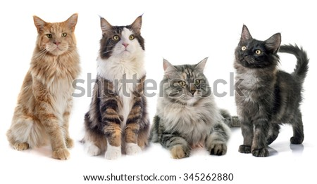 portrait of four purebred  maine coon cats on a white background - stock photo