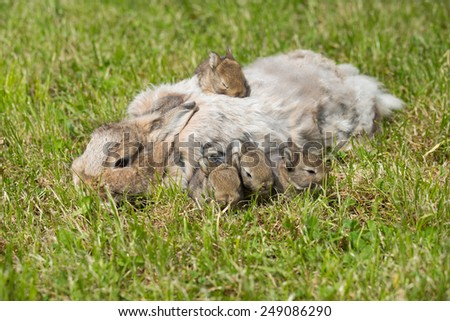 Portrait of four rabbits with mom in the grass - stock photo