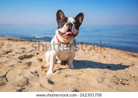 Portrait of french bulldog on the beach - stock photo