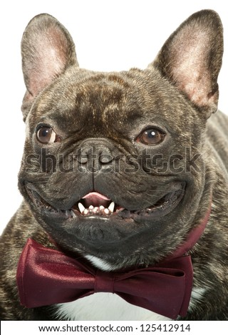 Portrait of french bulldog with bow tie isolated on white - stock photo
