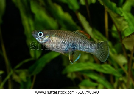 Portrait of freshwater livebearer fish (Brachyrhaphis roseni) in aquarium
