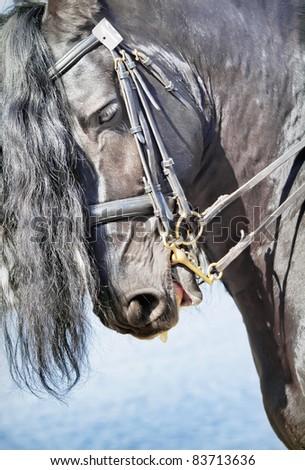 portrait of frisian horse - stock photo