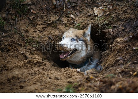 Portrait of funny and dirty husky in a hole - stock photo