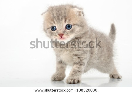 portrait of funny British kitten