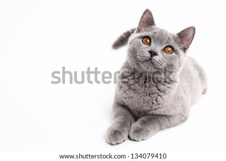 Portrait of funny British kitten - stock photo