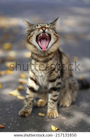 Portrait of funny cat yawning on track   - stock photo
