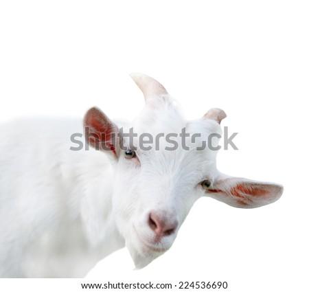 Portrait of funny goat, isolated on white background - stock photo